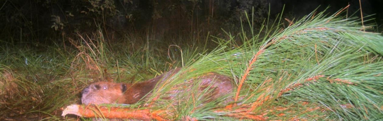 Beaver 2009 031